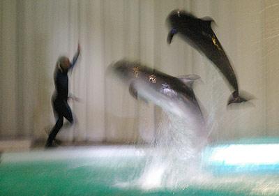 Tarptautinė jūros kiaulės (delfino) diena